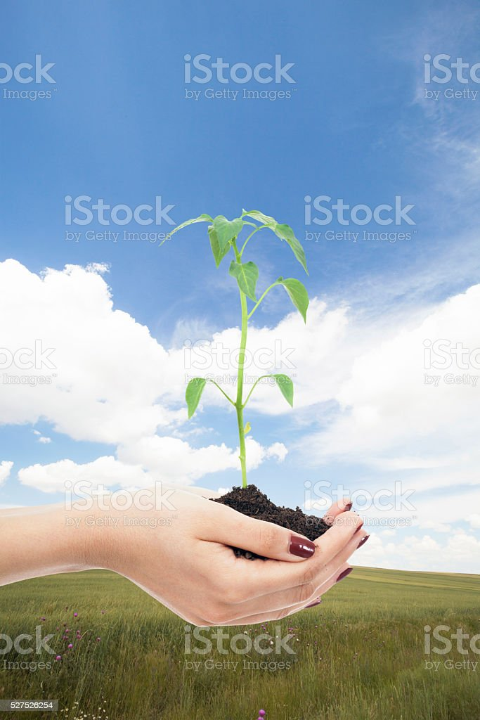 Transplant of a seedling female hands nature background stock photo