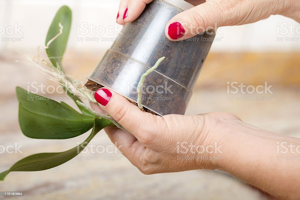 Transplanting Orchid in Domestic Kitchen royalty-free stock photo