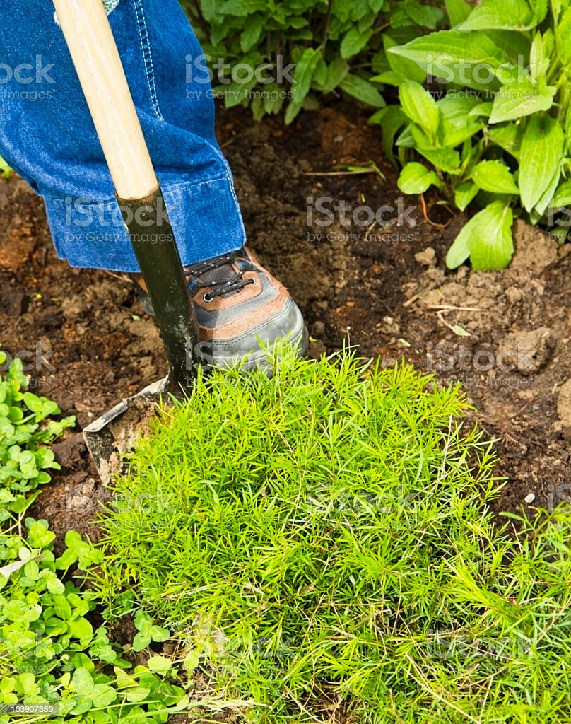Transplanting Perennial Flowers royalty-free stock photo