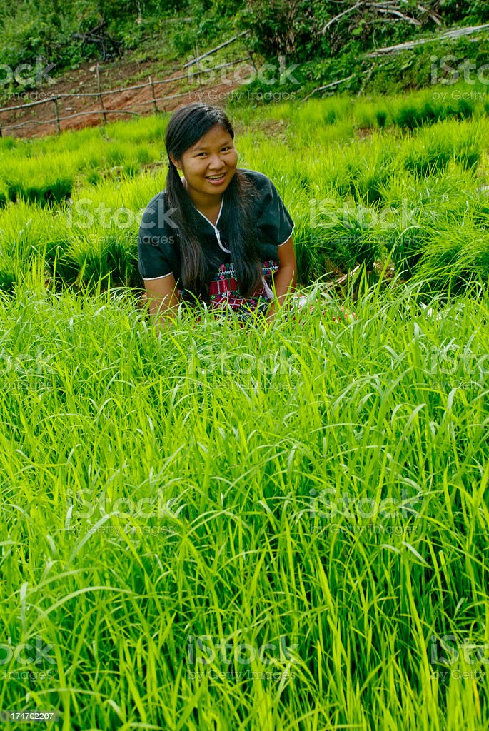 Transplanting Rice Seedlings stock photo