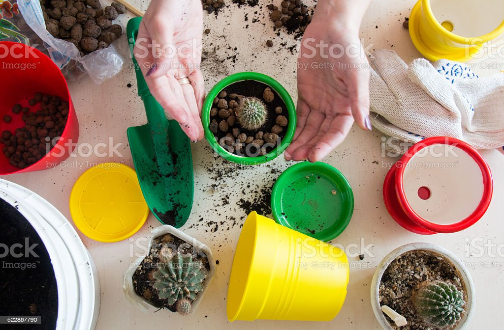 transplanting small green cactus in a pot  top view stock photo