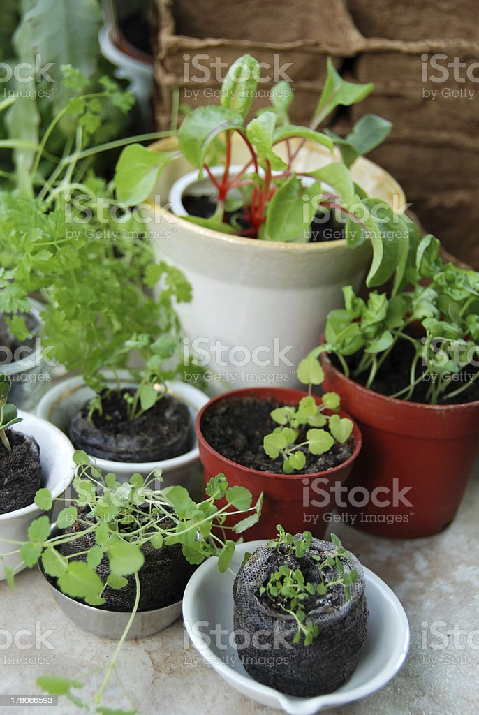 Transplanting time royalty-free stock photo