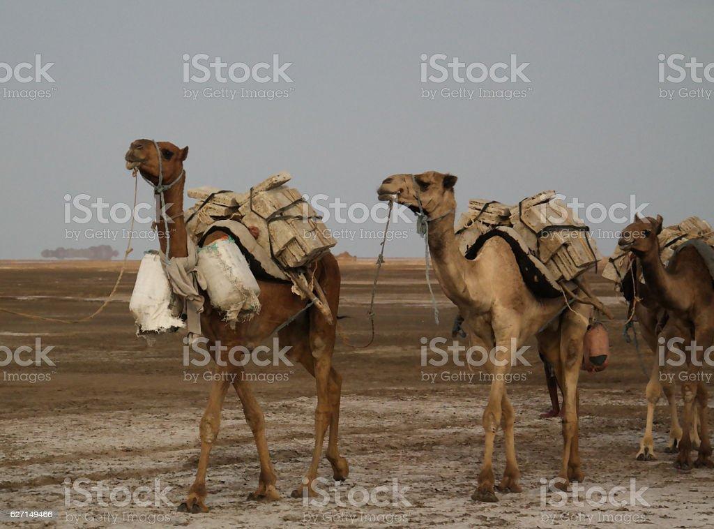 Transportation of salt slabs camel, Karum lake, Danakil Afar Ethiopia stock photo