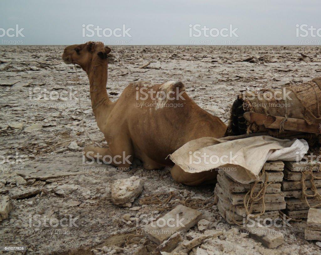 Transportation of salt slabs camel, Karum lake, Danakil, Afar Ethiopia stock photo