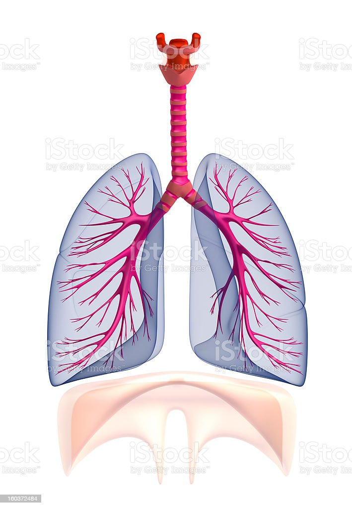 Transtarent human lungs anatomy. Isolated on white stock photo