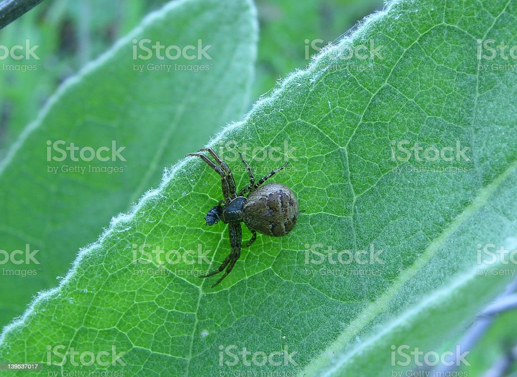 Transverse-banded Crab Spider stock photo