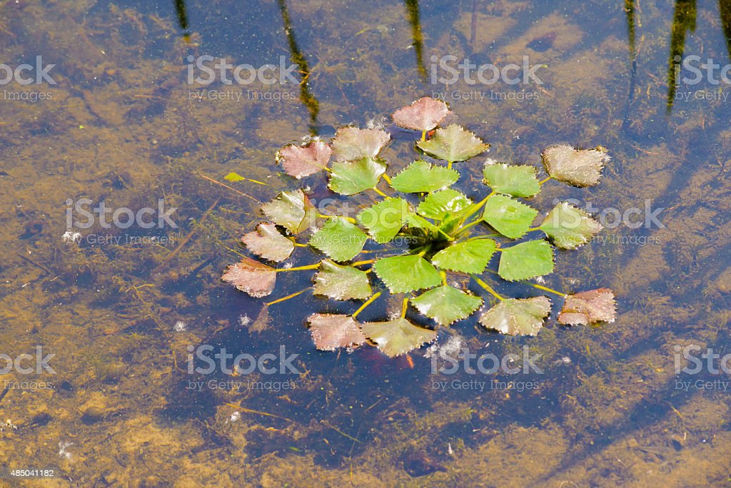 Trapa Natans (Water Chestnut) stock photo