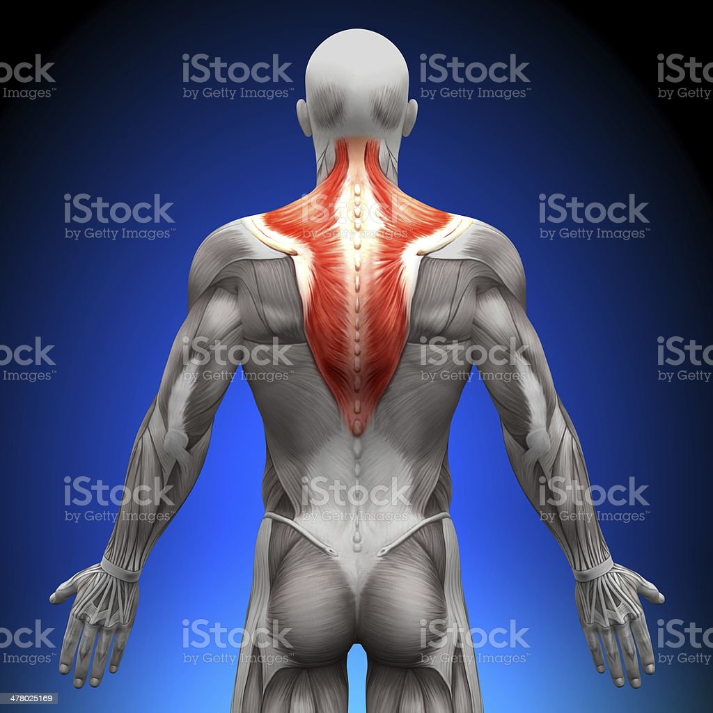 Trapezius - Anatomy Muscles royalty-free stock photo