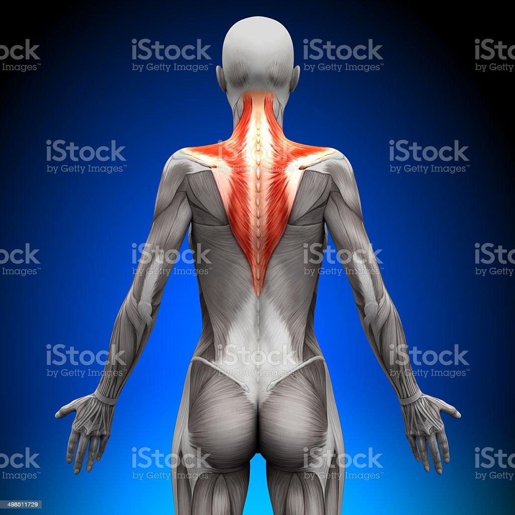 Trapezius - Female Anatomy Muscles stock photo