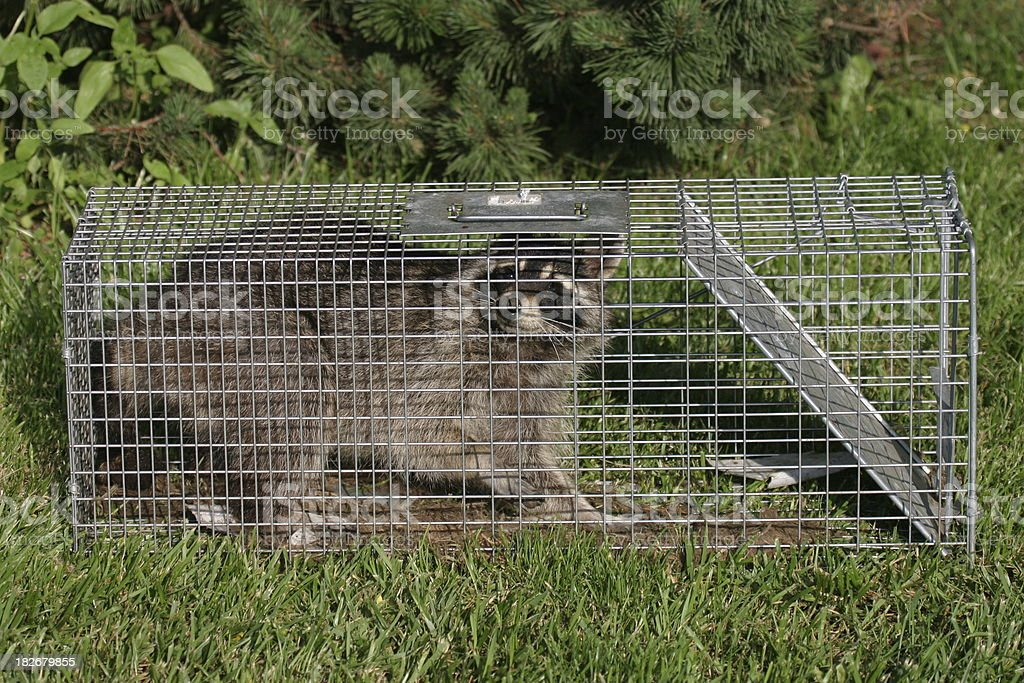 Trapped Raccoon royalty-free stock photo