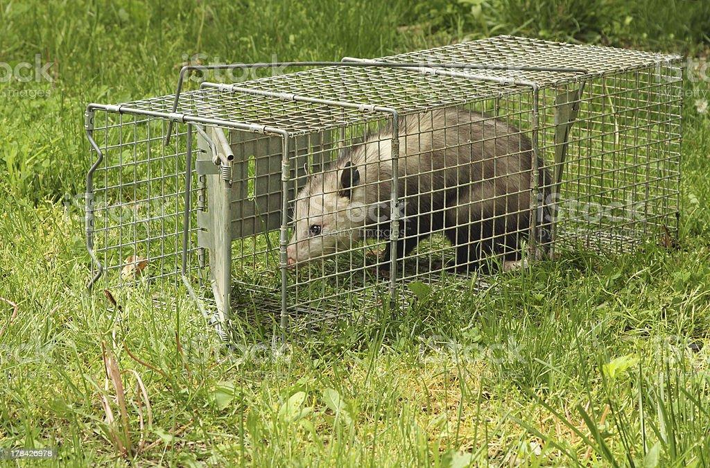 Trapped Virginia Opossum stock photo
