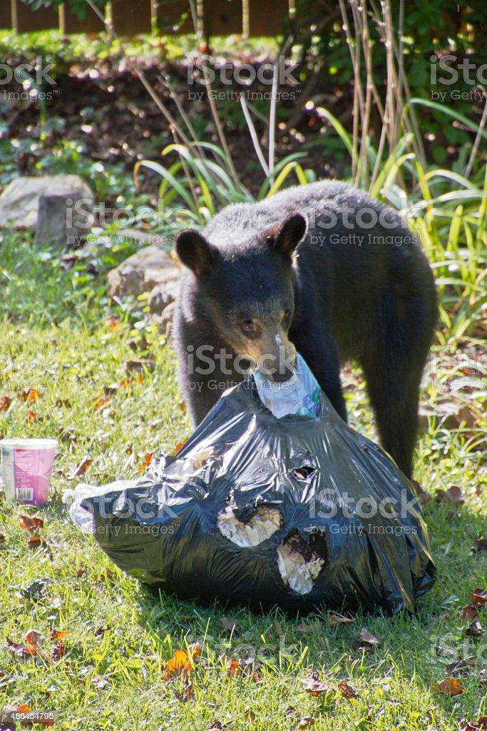 Trash Eating Black Bear stock photo