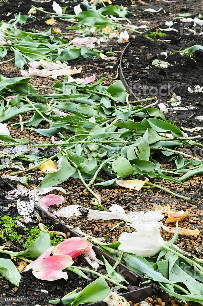 Trash the tulips stock photo