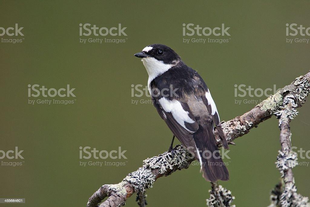 Trauerschnaepper, Pied Flycatcher stock photo