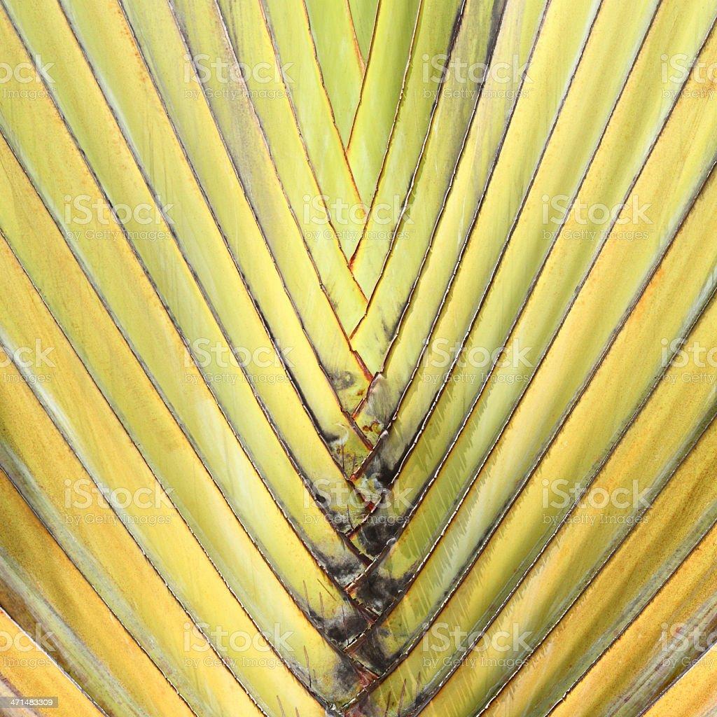 Travelers Palm Tree (Ravenala madagascariensis) royalty-free stock photo