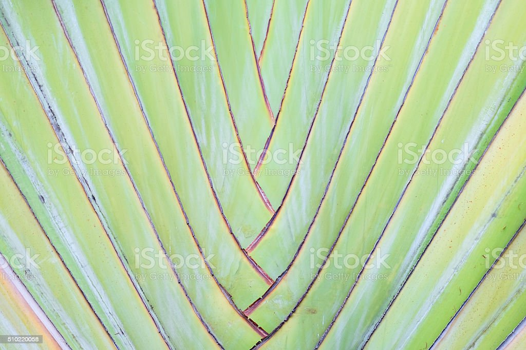 traveler's tree,traveler's palm background texture. stock photo