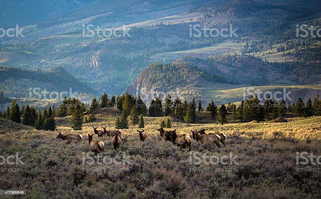 Traveling Elk stock photo
