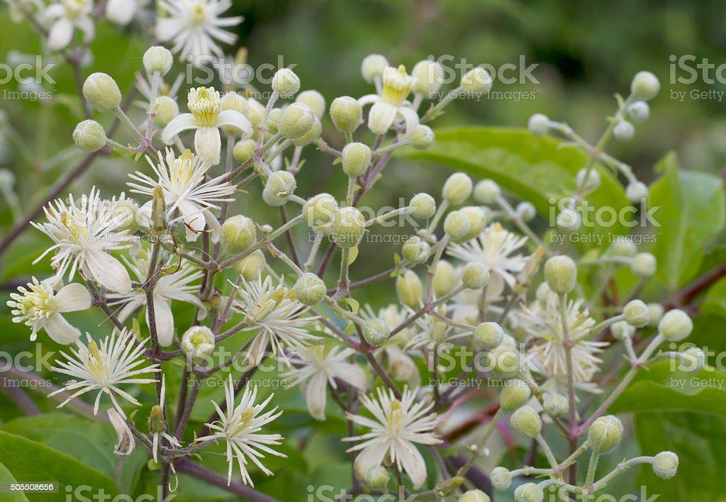 Travellers Joy, Old Man's Beard (Clematis vitalba) Blossom stock photo