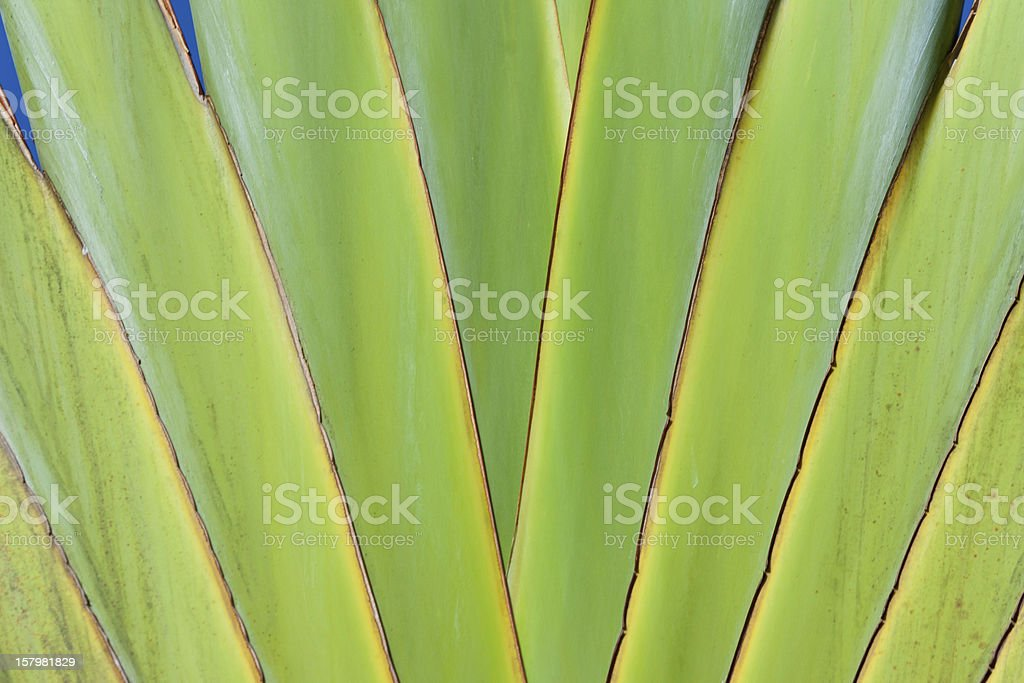 traveller's palm tree royalty-free stock photo