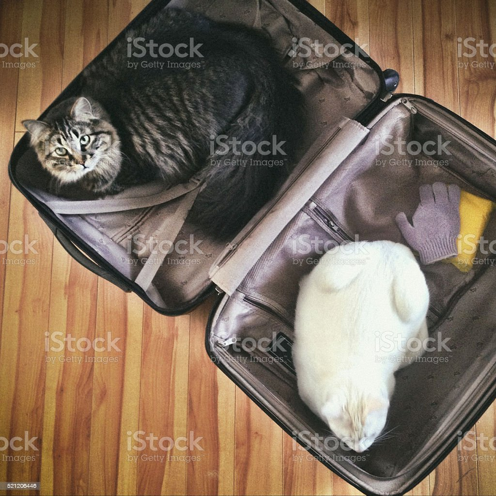 Travelling cats stock photo