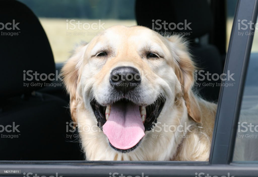 Travelling Dog royalty-free stock photo