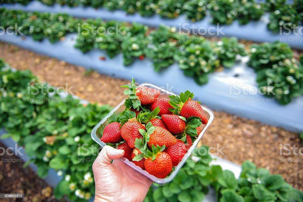 Tray full of strawberries stock photo