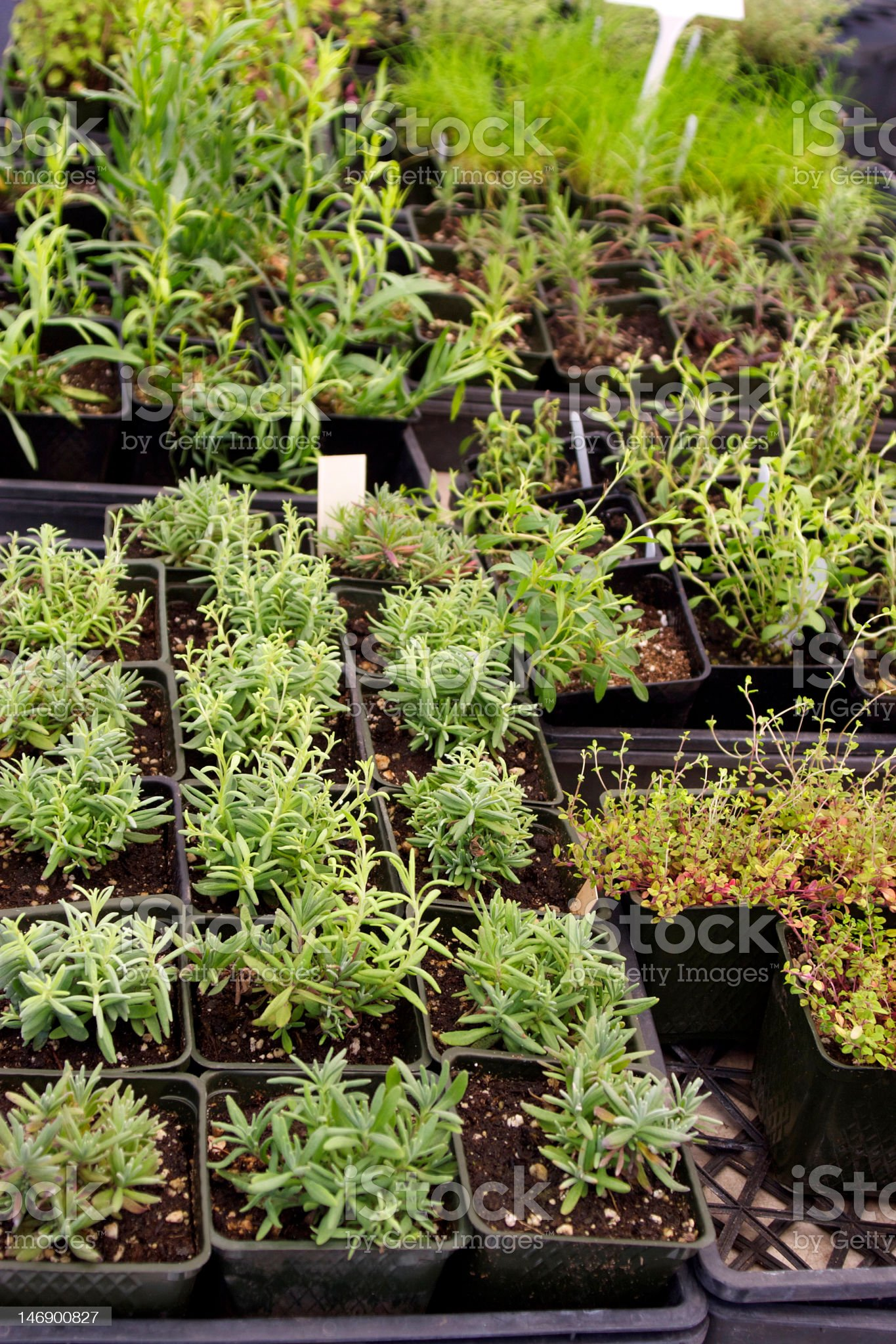 Trays of Planted Green Herbs royalty-free stock photo
