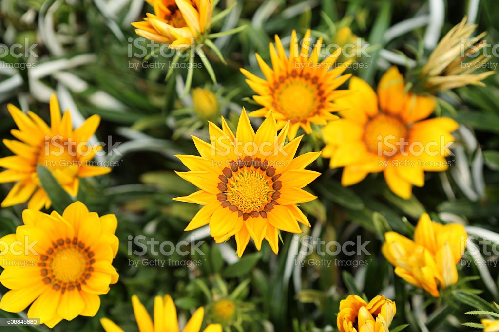 Treasure Flower - Gazania Rigens stock photo