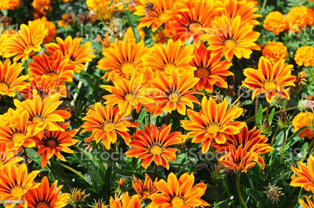 treasure flower in garden stock photo