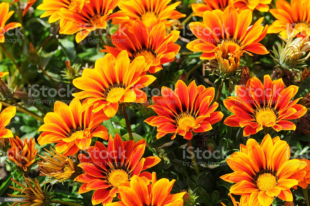 Treasure Flower (Gazania) stock photo