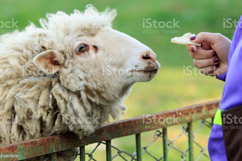 Treat the Sheep stock photo