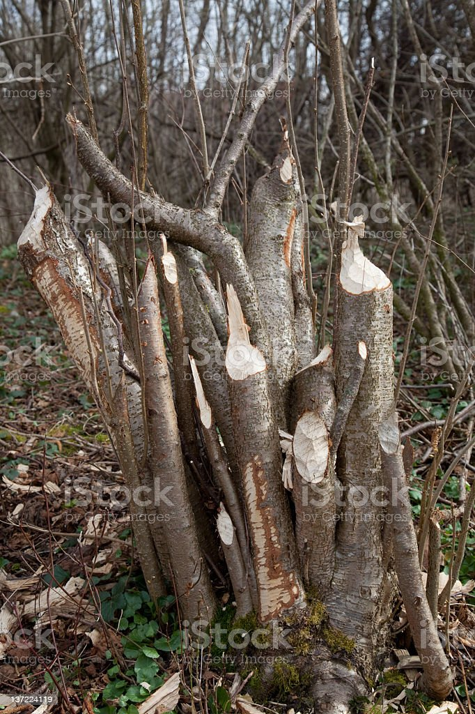 tree abandoned by beavers royalty-free stock photo