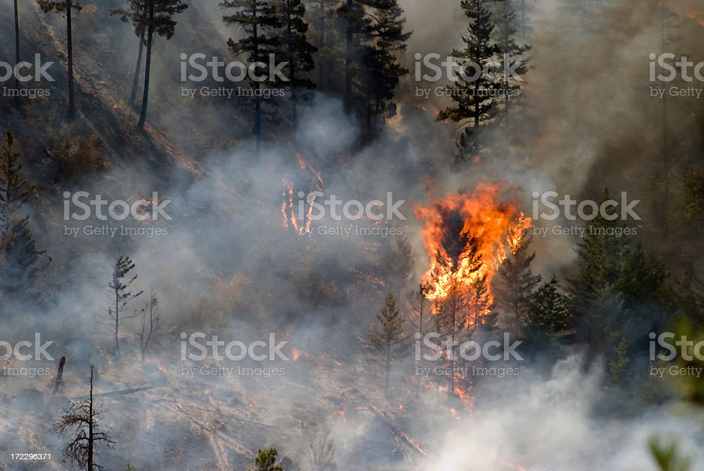 Tree ablaze in forest fire with smoke and charred trees stock photo