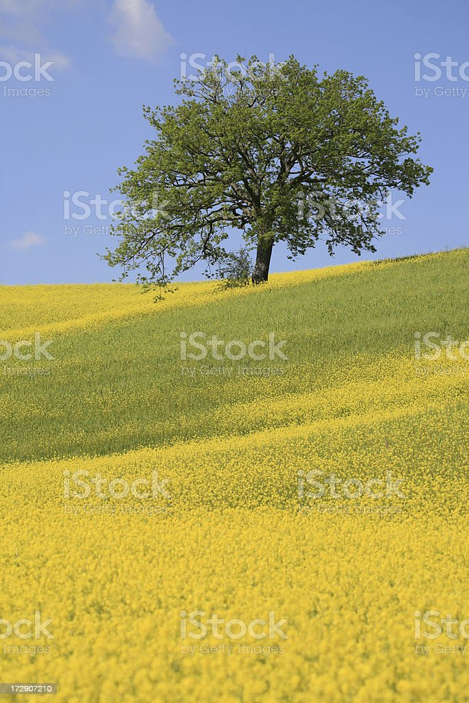 Tree and a yellow meadow in Val d'Orcia-Tuscany, Italy stock photo