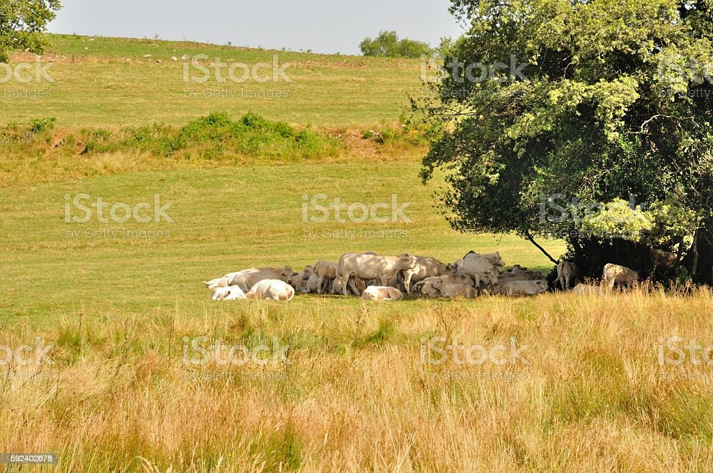 Tree and cows in meadows stock photo
