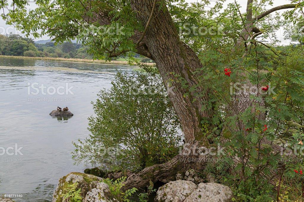 Tree and Ducks on Lake WIndermere shore, Ambleside, Cumbria stock photo