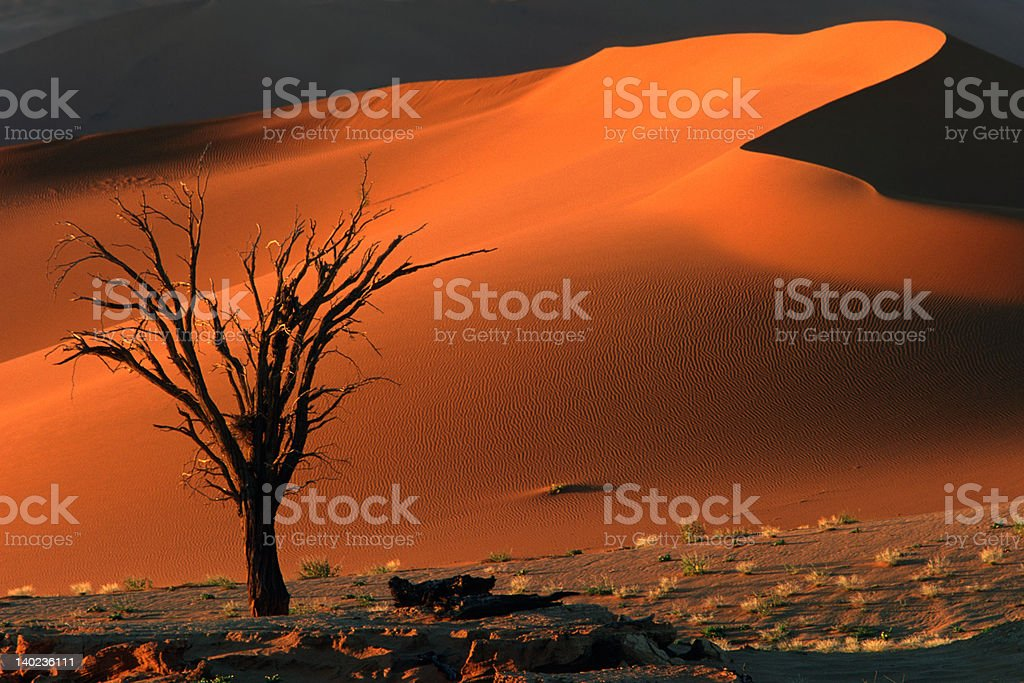 Tree and dune royalty-free stock photo