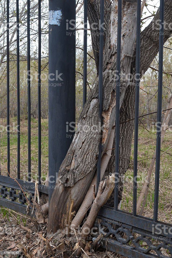 Tree and fence (portrait orientation) stock photo
