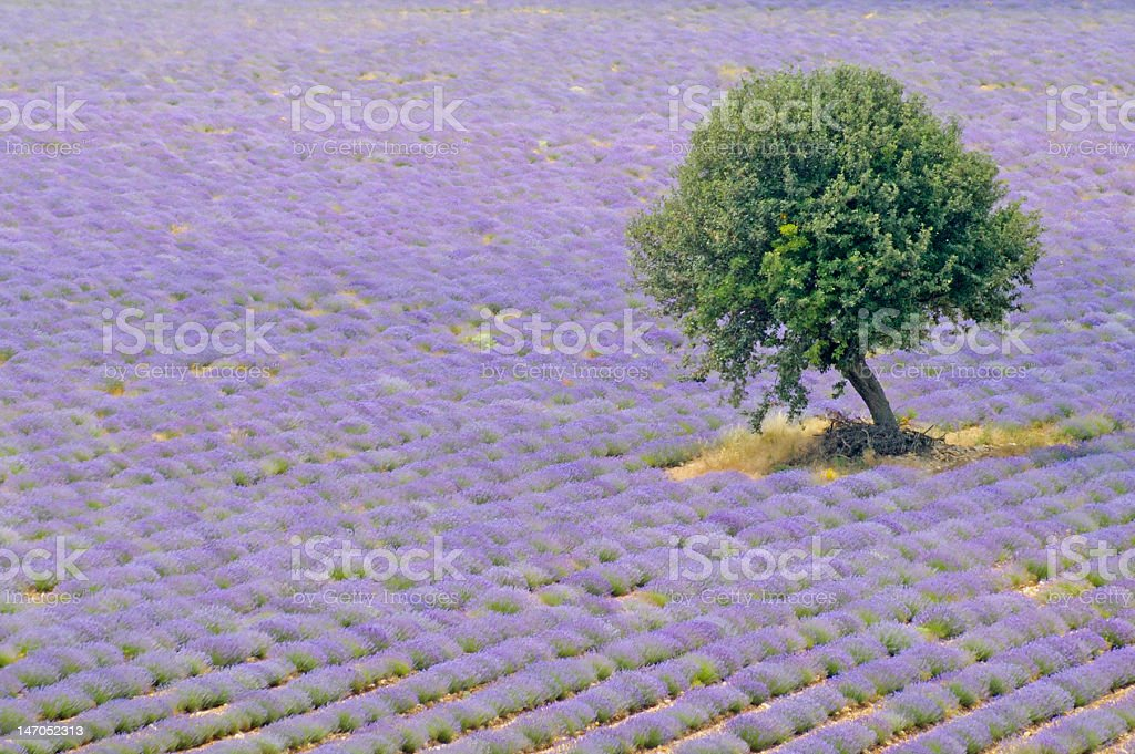 Tree and lavender royalty-free stock photo