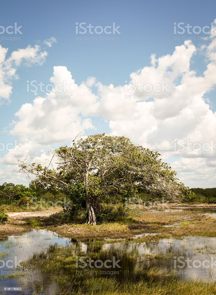 Tree and marshland, Barreirinhas, Brazil stock photo