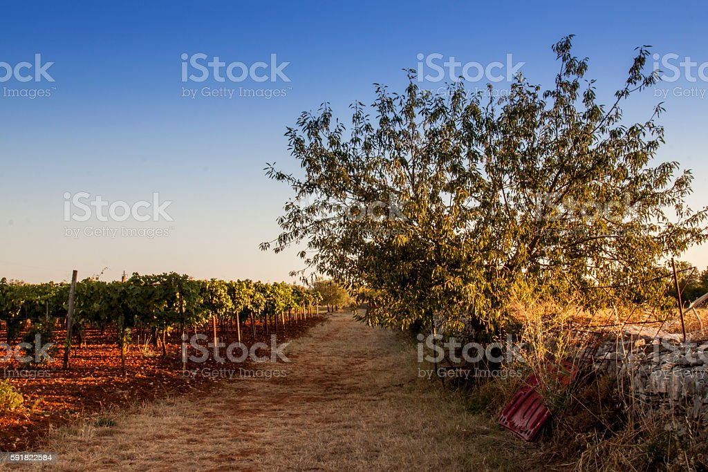 Tree and olive plants foto stock royalty-free