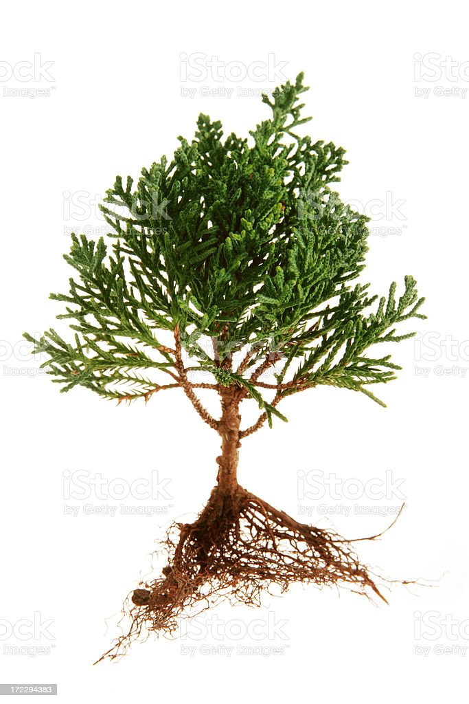 Tree and Roots royalty-free stock photo