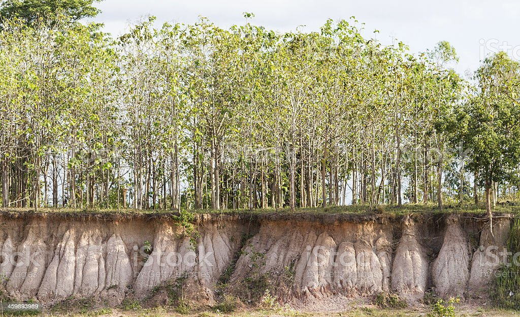 Tree and section of soil. Erosion due to water stock photo