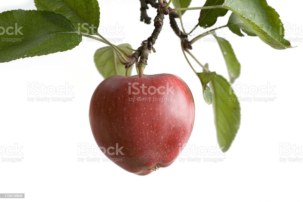 Tree Apple -isolated stock photo