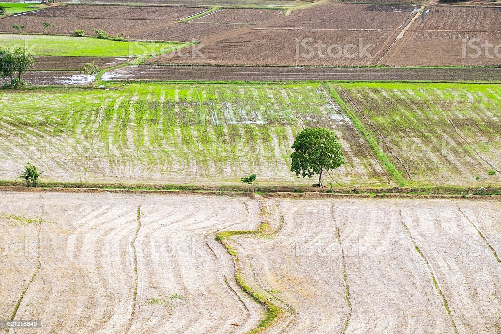 Tree arid solitary on rice field at wat tham sua stock photo