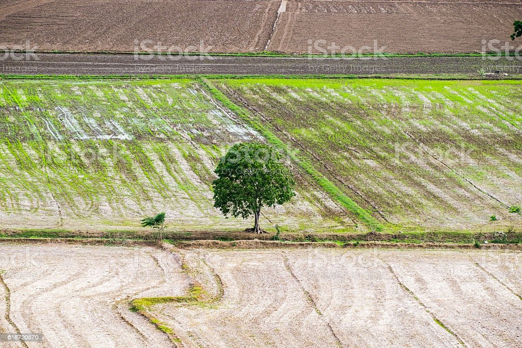 Tree arid solitary on rice field stock photo