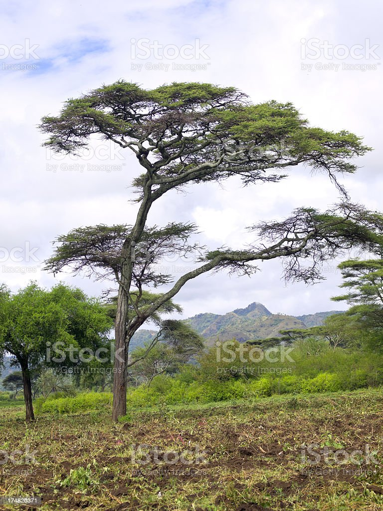 Tree at Chamo stock photo