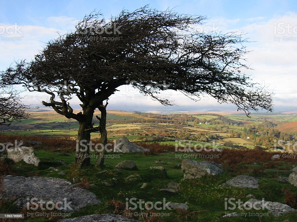 Tree at Combestone Tor royalty-free stock photo