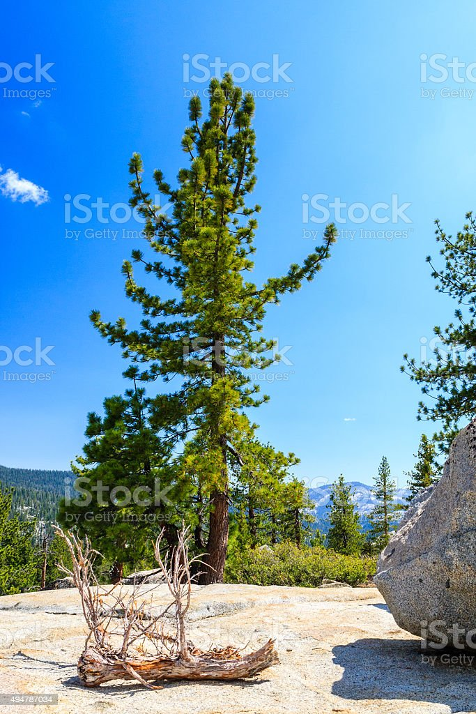 Tree at Tioga Pass, Yosemite National Park, Sierra Nevada, USA stock photo