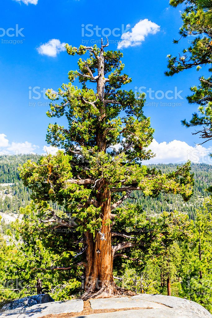 Tree at Tioga Pass, Yosemite National Park, Sierra Nevada, USA stock photo